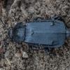 Juodasis maitvabalis - Necrodes littoralis | Fotografijos autorius : Žilvinas Pūtys | © Macrogamta.lt | Šis tinklapis priklauso bendruomenei kuri domisi makro fotografija ir fotografuoja gyvąjį makro pasaulį.