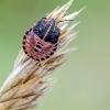 Juostelinė skydblakės nimfa | Italian striped-bug | Graphosoma italicum | Fotografijos autorius : Darius Baužys | © Macrogamta.lt | Šis tinklapis priklauso bendruomenei kuri domisi makro fotografija ir fotografuoja gyvąjį makro pasaulį.