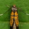 Puošnioji šifermiulerija - Schiffermuelleria schaefferella | Fotografijos autorius : Vidas Brazauskas | © Macrogamta.lt | Šis tinklapis priklauso bendruomenei kuri domisi makro fotografija ir fotografuoja gyvąjį makro pasaulį.
