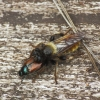 Kamaniškoji plėšriamusė - Laphria flava | Fotografijos autorius : Vidas Brazauskas | © Macrogamta.lt | Šis tinklapis priklauso bendruomenei kuri domisi makro fotografija ir fotografuoja gyvąjį makro pasaulį.