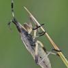 Vikrioji dirvablakė - Dicranocephalus cf. agilis | Fotografijos autorius : Gintautas Steiblys | © Macrogamta.lt | Šis tinklapis priklauso bendruomenei kuri domisi makro fotografija ir fotografuoja gyvąjį makro pasaulį.
