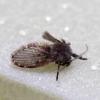 Kandinis uodelis - Clogmia albipunctata | Fotografijos autorius : Romas Ferenca | © Macrogamta.lt | Šis tinklapis priklauso bendruomenei kuri domisi makro fotografija ir fotografuoja gyvąjį makro pasaulį.