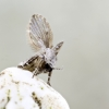 Kandinis uodelis - Clogmia albipunctata | Fotografijos autorius : Kazimieras Martinaitis | © Macrogamta.lt | Šis tinklapis priklauso bendruomenei kuri domisi makro fotografija ir fotografuoja gyvąjį makro pasaulį.