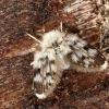 Kandinis uodelis - Pericoma sp. | Fotografijos autorius : Vaida Paznekaitė | © Macrogamta.lt | Šis tinklapis priklauso bendruomenei kuri domisi makro fotografija ir fotografuoja gyvąjį makro pasaulį.