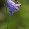 Apskritalapis katilėlis - Campanula rotundifolia | Fotografijos autorius : Gintautas Steiblys | © Macrogamta.lt | Šis tinklapis priklauso bendruomenei kuri domisi makro fotografija ir fotografuoja gyvąjį makro pasaulį.