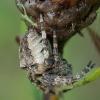 Kauburiuotasis kryžiuotis - Araneus angulatus   Fotografijos autorius : Žilvinas Pūtys   © Macrogamta.lt   Šis tinklapis priklauso bendruomenei kuri domisi makro fotografija ir fotografuoja gyvąjį makro pasaulį.