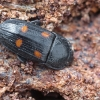 Keturdėmis žvilgvabalis - Ipidia binotata   Fotografijos autorius : Gintautas Steiblys   © Macrogamta.lt   Šis tinklapis priklauso bendruomenei kuri domisi makro fotografija ir fotografuoja gyvąjį makro pasaulį.