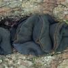 Kislioji bulgarija - Bulgaria inquinans | Fotografijos autorius : Žilvinas Pūtys | © Macrogamta.lt | Šis tinklapis priklauso bendruomenei kuri domisi makro fotografija ir fotografuoja gyvąjį makro pasaulį.