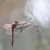 Kruvinoji skėtė - Sympetrum sanguineum | Fotografijos autorius : Agnė Našlėnienė | © Macrogamta.lt | Šis tinklapis priklauso bendruomenei kuri domisi makro fotografija ir fotografuoja gyvąjį makro pasaulį.