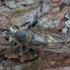 Kuprotoji plėšriamusė - Laphria gibbosa ♀ | Fotografijos autorius : Žilvinas Pūtys | © Macrogamta.lt | Šis tinklapis priklauso bendruomenei kuri domisi makro fotografija ir fotografuoja gyvąjį makro pasaulį.