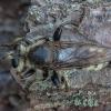 Kuprotoji plėšriamusė - Laphria gibbosa ♂ | Fotografijos autorius : Žilvinas Pūtys | © Macrogamta.lt | Šis tinklapis priklauso bendruomenei kuri domisi makro fotografija ir fotografuoja gyvąjį makro pasaulį.