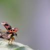 Lajinė boružė - Oenopia conglobata | Fotografijos autorius : Agnė Našlėnienė | © Macrogamta.lt | Šis tinklapis priklauso bendruomenei kuri domisi makro fotografija ir fotografuoja gyvąjį makro pasaulį.