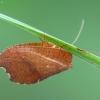 Lapasparnis - Drepanepteryx phalaenoides   Fotografijos autorius : Vidas Brazauskas   © Macrogamta.lt   Šis tinklapis priklauso bendruomenei kuri domisi makro fotografija ir fotografuoja gyvąjį makro pasaulį.