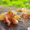 Phaeotremella frondosa | Fotografijos autorius : Gintautas Steiblys | © Macrogamta.lt | Šis tinklapis priklauso bendruomenei kuri domisi makro fotografija ir fotografuoja gyvąjį makro pasaulį.