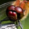 Kruvinoji skėtė - Sympetrum sanguineum | Fotografijos autorius : Irenėjas Urbonavičius | © Macrogamta.lt | Šis tinklapis priklauso bendruomenei kuri domisi makro fotografija ir fotografuoja gyvąjį makro pasaulį.