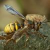 Lenktapilvė musė - Conops vesicularis ♂ | Fotografijos autorius : Žilvinas Pūtys | © Macrogamta.lt | Šis tinklapis priklauso bendruomenei kuri domisi makro fotografija ir fotografuoja gyvąjį makro pasaulį.