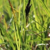 Lieknoji viksva - Carex acuta   Fotografijos autorius : Gintautas Steiblys   © Macrogamta.lt   Šis tinklapis priklauso bendruomenei kuri domisi makro fotografija ir fotografuoja gyvąjį makro pasaulį.