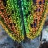 Liepinis blizgiavabalis - Lamprodila rutilans | Fotografijos autorius : Kazimieras Martinaitis | © Macrogamta.lt | Šis tinklapis priklauso bendruomenei kuri domisi makro fotografija ir fotografuoja gyvąjį makro pasaulį.