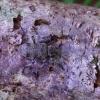 Liepinis pilkšys - Oplosia cinerea | Fotografijos autorius : Romas Ferenca | © Macrogamta.lt | Šis tinklapis priklauso bendruomenei kuri domisi makro fotografija ir fotografuoja gyvąjį makro pasaulį.
