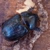 Ragvabalis - Pentodon cf. bidens | Fotografijos autorius : Vaida Paznekaitė | © Macrogamta.lt | Šis tinklapis priklauso bendruomenei kuri domisi makro fotografija ir fotografuoja gyvąjį makro pasaulį.
