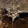 Mėlynsparnė peteliškė - Catocala fraxini | Fotografijos autorius : Mantas Kaupys | © Macrogamta.lt | Šis tinklapis priklauso bendruomenei kuri domisi makro fotografija ir fotografuoja gyvąjį makro pasaulį.