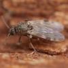 Mašalas - Culicoides nubeculosus ♀   Fotografijos autorius : Žilvinas Pūtys   © Macrogamta.lt   Šis tinklapis priklauso bendruomenei kuri domisi makro fotografija ir fotografuoja gyvąjį makro pasaulį.
