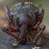 Mažasis pušinis straubliukas - Hylobius pinastri | Fotografijos autorius : Žilvinas Pūtys | © Macrogamta.lt | Šis tinklapis priklauso bendruomenei kuri domisi makro fotografija ir fotografuoja gyvąjį makro pasaulį.