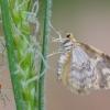 Mažoji geltonoji cidarija - Hydrelia flammeolaria | Fotografijos autorius : Arūnas Eismantas | © Macrogamta.lt | Šis tinklapis priklauso bendruomenei kuri domisi makro fotografija ir fotografuoja gyvąjį makro pasaulį.