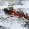 Mažoji miško skruzdėlė - Formica polyctena    Fotografijos autorius : Gintautas Steiblys   © Macrogamta.lt   Šis tinklapis priklauso bendruomenei kuri domisi makro fotografija ir fotografuoja gyvąjį makro pasaulį.