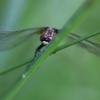 Mažoji skėtė - Leucorrhinia dubia | Fotografijos autorius : Zita Gasiūnaitė | © Macrogamta.lt | Šis tinklapis priklauso bendruomenei kuri domisi makro fotografija ir fotografuoja gyvąjį makro pasaulį.