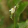 Maltiškoji linažolė - Linaria pseudolaxiflora | Fotografijos autorius : Deividas Makavičius | © Macrogamta.lt | Šis tinklapis priklauso bendruomenei kuri domisi makro fotografija ir fotografuoja gyvąjį makro pasaulį.