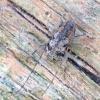 Margūnas - Leiopus femoratus | Fotografijos autorius : Romas Ferenca | © Macrogamta.lt | Šis tinklapis priklauso bendruomenei kuri domisi makro fotografija ir fotografuoja gyvąjį makro pasaulį.