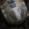 Marmurinis auksavabalis - Protaetia marmorata, lerva | Fotografijos autorius : Kazimieras Martinaitis | © Macrogamta.lt | Šis tinklapis priklauso bendruomenei kuri domisi makro fotografija ir fotografuoja gyvąjį makro pasaulį.