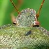 Medinė skydblakė - Palomena prasina | Fotografijos autorius : Vidas Brazauskas | © Macrogamta.lt | Šis tinklapis priklauso bendruomenei kuri domisi makro fotografija ir fotografuoja gyvąjį makro pasaulį.