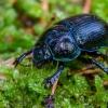 Miškinis mėšlavabalis | Dor beetle | Geotrupes stercorosus | Fotografijos autorius : Darius Baužys | © Macrogamta.lt | Šis tinklapis priklauso bendruomenei kuri domisi makro fotografija ir fotografuoja gyvąjį makro pasaulį.