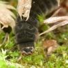 Minkštavabalis - Cantharidae, lerva | Fotografijos autorius : Vidas Brazauskas | © Macrogamta.lt | Šis tinklapis priklauso bendruomenei kuri domisi makro fotografija ir fotografuoja gyvąjį makro pasaulį.