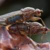 Musė - Dryomyza flaveola   Fotografijos autorius : Žilvinas Pūtys   © Macrogamta.lt   Šis tinklapis priklauso bendruomenei kuri domisi makro fotografija ir fotografuoja gyvąjį makro pasaulį.