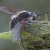 Musė zvimbeklė - Systoechus ctenopterus   Fotografijos autorius : Žilvinas Pūtys   © Macrogamta.lt   Šis tinklapis priklauso bendruomenei kuri domisi makro fotografija ir fotografuoja gyvąjį makro pasaulį.