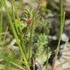 Raudonstiebis snaputis - Geranium robertianum | Fotografijos autorius : Vidas Brazauskas | © Macrogamta.lt | Šis tinklapis priklauso bendruomenei kuri domisi makro fotografija ir fotografuoja gyvąjį makro pasaulį.