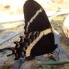 Nuostabusis machaonas - Papilio garams   Fotografijos autorius : Vitalij Drozdov   © Macrogamta.lt   Šis tinklapis priklauso bendruomenei kuri domisi makro fotografija ir fotografuoja gyvąjį makro pasaulį.