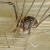 Paprastasis šienpjovys - Phalangium opilio (patinas)   Fotografijos autorius : Vidas Brazauskas   © Macrogamta.lt   Šis tinklapis priklauso bendruomenei kuri domisi makro fotografija ir fotografuoja gyvąjį makro pasaulį.
