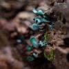 Paprastasis žaliagrybis - Chlorociboria aeruginosa | Fotografijos autorius : Zita Gasiūnaitė | © Macrogamta.lt | Šis tinklapis priklauso bendruomenei kuri domisi makro fotografija ir fotografuoja gyvąjį makro pasaulį.