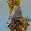 Paprastasis ankstyvasis pelėdgalvis - Orthosia incerta | Fotografijos autorius : Vidas Brazauskas | © Macrogamta.lt | Šis tinklapis priklauso bendruomenei kuri domisi makro fotografija ir fotografuoja gyvąjį makro pasaulį.