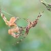 Paprastasis kryžiuotis - Araneus diadematus | Fotografijos autorius : Oskaras Venckus | © Macrogamta.lt | Šis tinklapis priklauso bendruomenei kuri domisi makro fotografija ir fotografuoja gyvąjį makro pasaulį.