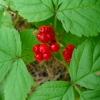 Paprastoji katuogė - Rubus saxatilis | Fotografijos autorius : Aleksandras Stabrauskas | © Macrogamta.lt | Šis tinklapis priklauso bendruomenei kuri domisi makro fotografija ir fotografuoja gyvąjį makro pasaulį.