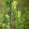 Paprastoji linažolė - Linaria vulgaris   Fotografijos autorius : Vidas Brazauskas   © Macrogamta.lt   Šis tinklapis priklauso bendruomenei kuri domisi makro fotografija ir fotografuoja gyvąjį makro pasaulį.