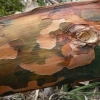 Paprastoji pušis - Pinus sylvestris | Fotografijos autorius : Aleksandras Stabrauskas | © Macrogamta.lt | Šis tinklapis priklauso bendruomenei kuri domisi makro fotografija ir fotografuoja gyvąjį makro pasaulį.