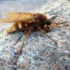 Coenomyia ferruginea   Fotografijos autorius : Vitalii Alekseev   © Macrogamta.lt   Šis tinklapis priklauso bendruomenei kuri domisi makro fotografija ir fotografuoja gyvąjį makro pasaulį.