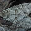 Pilkasis pelėdgalvis - Polia nebulosa   Fotografijos autorius : Žilvinas Pūtys   © Macrogamta.lt   Šis tinklapis priklauso bendruomenei kuri domisi makro fotografija ir fotografuoja gyvąjį makro pasaulį.