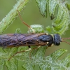 Pjūklelis - Strongylogaster xanthocera ♀ | Fotografijos autorius : Žilvinas Pūtys | © Macrogamta.lt | Šis tinklapis priklauso bendruomenei kuri domisi makro fotografija ir fotografuoja gyvąjį makro pasaulį.